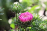 Pink Chrysanthemum - Public Domain Pictures