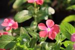 Pink Crape Jasmine - Public Domain Pictures