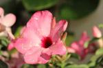 Pink Flower Petals Closeup - Public Domain Pictures