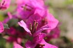 Pink Leaf Flower Closeup - Public Domain Pictures