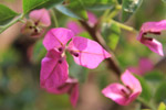 Pink Leaves Flower Closeup - Public Domain Pictures