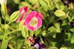 Pink White Petals Closeup - Public Domain Pictures