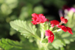 Red Flower And Leaves Closeup - Public Domain Pictures