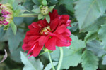Red Flower Petals - Public Domain Pictures