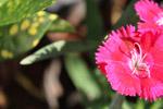 Reddish Pink Flower Petals - Public Domain Pictures