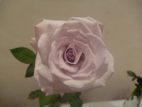 221-white-pink-rose - Public Domain Pictures