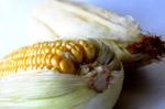 Food Maize - Public Domain Pictures