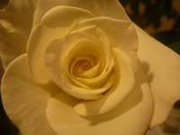228-yellow-rose-closeup - Public Domain Pictures
