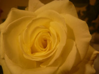 Yellow Rose - Public Domain Pictures