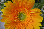 Yellow Orange Daisy 2 - Public Domain Pictures