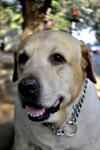 2452-dog-labrador-2 - Public Domain Pictures