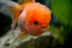 2458-fish-orange-gold - Public Domain Pictures