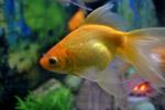 Gold Fish - Public Domain Pictures
