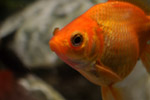 Goldfish - Public Domain Pictures