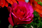 Red Rose 2 - Public Domain Pictures