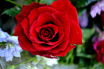 Red Rose 3 - Public Domain Pictures