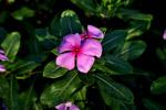 Flower Pink - Public Domain Pictures