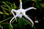 Lily Flower - Public Domain Pictures