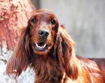 American Cocker Spaniel Dog - Public Domain Pictures