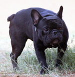 Black Pug - Public Domain Pictures