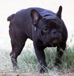 Black Pug - Public Domain Pictures