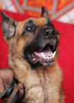 German Shepherd Dog - Public Domain Pictures