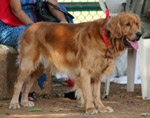 Golden Retriever 2 - Public Domain Pictures