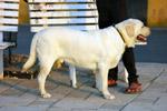 Labrador Standing - Public Domain Pictures