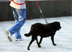 Labrador Walking Black - Public Domain Pictures
