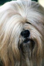 Lhasa Apso 8 - Public Domain Pictures