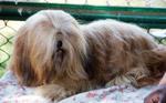 Lhasa Apso 9 - Public Domain Pictures