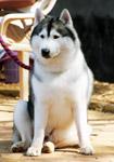 Siberian Husky - Public Domain Pictures