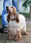 Spaniel Dog 2 - Public Domain Pictures