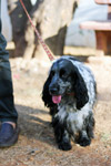 Spaniel Dog Black White - Public Domain Pictures