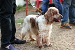 Spaniel Dog - Public Domain Pictures