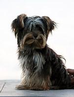 Yorkshire Terrier Sitting - Public Domain Pictures