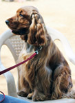 American Cocker Spaniel On Chair - Public Domain Pictures