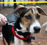 Beagle - Public Domain Pictures