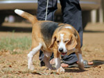 Beagle Cute Dog - Public Domain Pictures