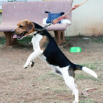 Beagle Dog Jumping - Public Domain Pictures