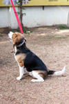 Beagle Sitting Ground - Public Domain Pictures