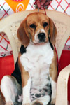 Beagle Sitting - Public Domain Pictures
