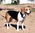 Beagle Standing - Public Domain Pictures
