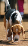 Beagle - Public Domain Pictures