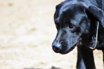 Black Labrador - Public Domain Pictures