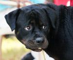 Boxer Black Looking - Public Domain Pictures
