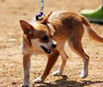 Brown Dog - Public Domain Pictures