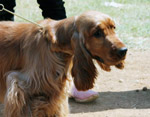 Cocker Spaniel Long Ears - Public Domain Pictures