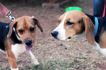Couple Of Beagle Dogs - Public Domain Pictures