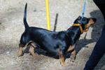 Dachshund Black Dog - Public Domain Pictures